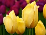*** Yellow Tulips ***