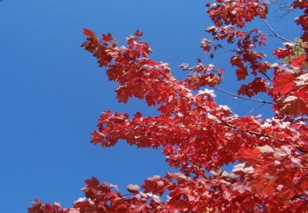 Red Maple Branches in Autumn - maple, colorful, harvest, blue sky, brown, branches, september, november, michigan, autumn, trees, fall, beautiful, foliage, october, leaf, leaves