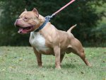 *** Bully Pitbull Dog ***