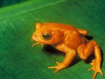 COSTA RICAN GOLDEN TOAD