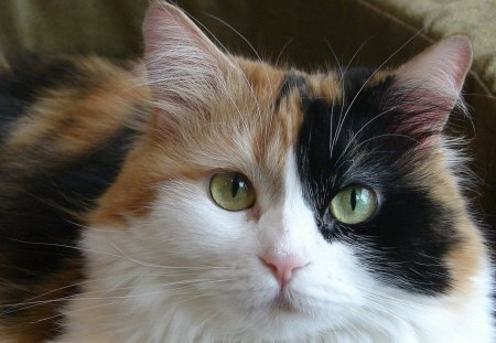 how rare are calico kittens