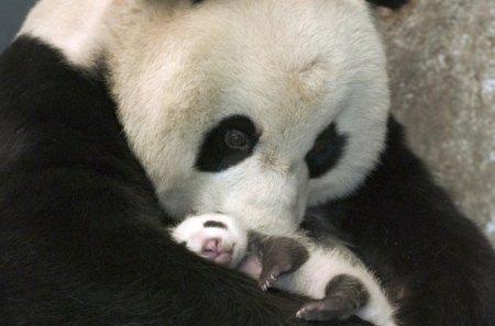 Family - bears, hd, nature, wallpaper, cute, animals, panda, family, love