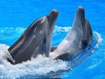 *** Dolphins ***