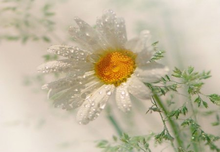 Daisy Dew - sunlight, flowers, dew, nature, daisy, floral