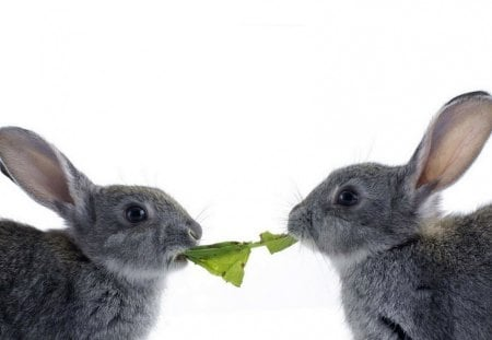 Tug of War - grey, rabbits, white, bunnies, eat, lettuce