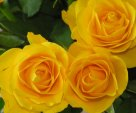 *** Yellow Rosws ***