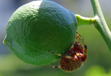 Insect With A Taste For Limes - insect, nature, plant, lime