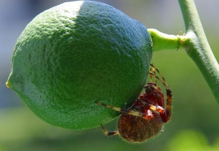 Insect With A Taste For Limes - insect, lime, plant, nature