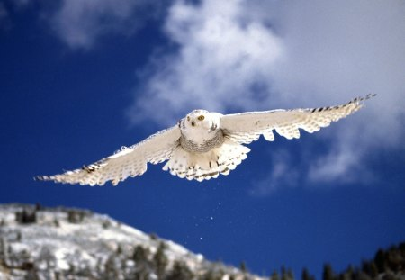 snow owl - snow owl in flight, snow owl