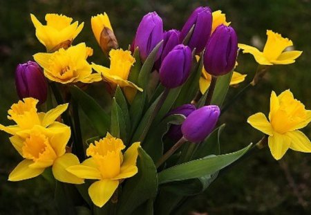 Lovely Purple and Yellow Combination - purple, daffodils, flowers, yellow, nature, tulips, combination