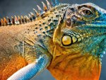 tropical iguana lizard reptile