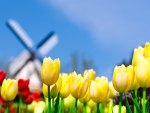 watermill tulips in Holland