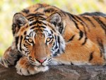 Beautiful young Tiger-