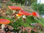 *** Red toadstools ***