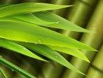 Bamboo So Bright