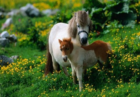 BUTTERCUP DAYS - green, grass, landscapes, flowers, foals, ponies, fields, moms and kids