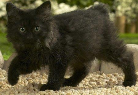 Norwegian Forest Cat Kitten Cats Animals Background Wallpapers On Desktop Nexus Image 1222067