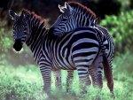 *** Two zebras ***
