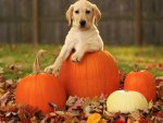 *** Dog with pumpkins ***