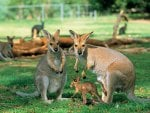 breeding pair of kangaroos