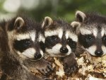 Raccoon cubs together in the woods