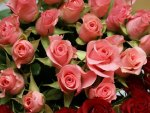 *** Beautiful pink roses ***