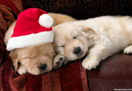 A Country Cozy Christmas♥ - red, cozy, christmas, golden, together, yellow, country, sleeping, hat, puppies, love, forever, labradors, animals, dogs