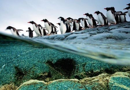 Penguins on the Reef - corals, oceans, nature, reefs, penguins