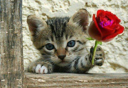 kitty with red rose - red rose, cat, animals, kitty