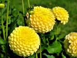 *** Yellow Dahlias ***