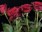 *** Red Roses ***