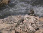Iguanas On Isla Mujeres
