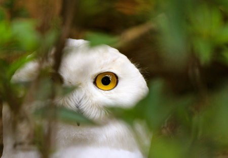 Owl - watching, twig, white, tree, branch, nature, eyes, bird, owl, leaves