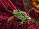 *** Green Frog ***