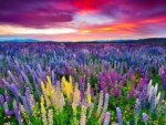 The Russel lupine field