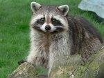 *** Raccoon ***