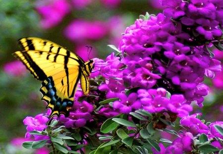 Beauty in the blooms - butterfly, purple, swallowtail, black, yellow, blooms