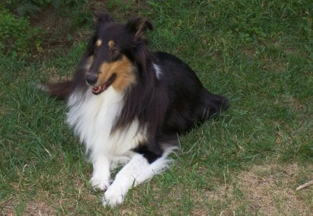 Annie, My Special Avatar Collie :) - herding breed, sable and white, Lassie, Collie, blue merle, tricolored, co11ie, kati, canine, Albert Payson Terhune, rough collie, canines, happi, tricolor, collies, smooth collie