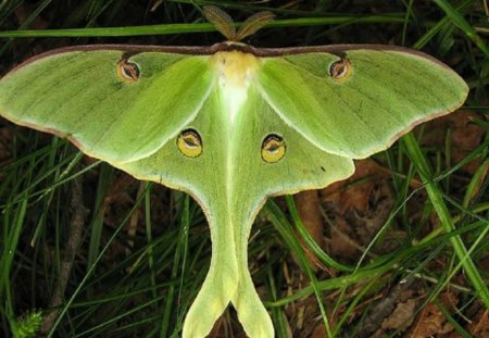 Luna Moth - moth, green, grass, animal