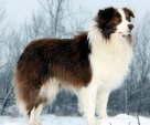 Border Collie Winter