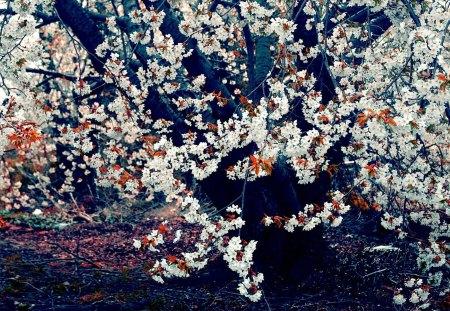 Cherry Blossom Tree - sakura, white, cherry blossom, cherry blossom tree, pink, tree, blossom