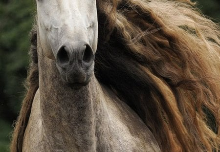 Flowing Mane - grey, andalusian, dapple, horses, spanish