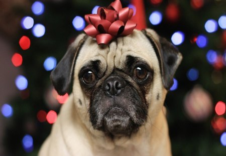 Christmas pug - cute, christmas, bow, pug, animals, dogs, lights