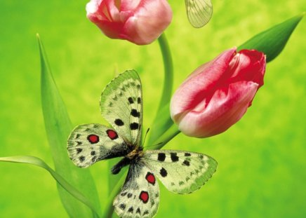 Butterfly and tulip - flowers, butterflies