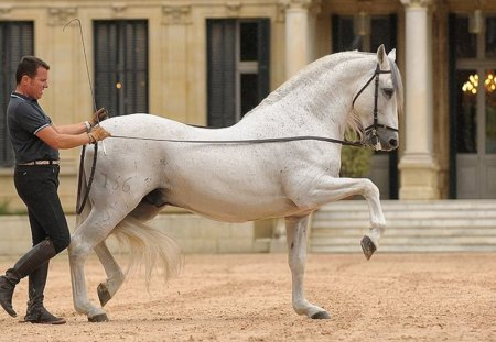 Andalusian Doing The Spanish Walk - grey, white, andalusian, spanish walk, horses, spanish
