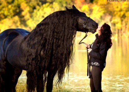 Sweet Friendship - draft horse, dutch, friesian, black, holland, horses