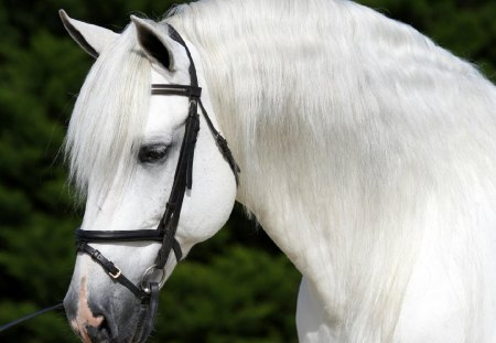 Andalusian Profile - white, andalusian, horses, spanish