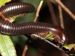 Giant millipede of Seychelles