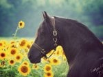 Friesian Among Sunflowers