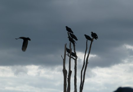 Vultures anticipating their next meal - everglades, birds, wildlife, vultures, nature